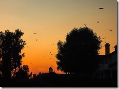 crows at sunset-02-w