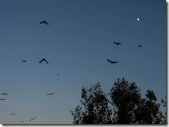 crows passing moon-01-w