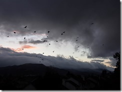 crows-stormy weather-w